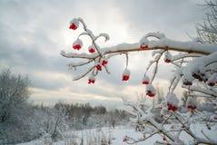 Verzweigen Sie sich mit Beeren von Viburnum im Schnee Stockbilder