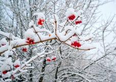 Verzweigen Sie sich mit Beeren von Viburnum im Schnee Lizenzfreies Stockbild