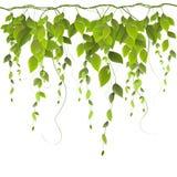Verzweigen Sie sich mit Blättern auf weißem Hintergrund Lizenzfreie Stockfotografie