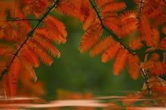 Verzweigen Sie sich mit Blättern des rote Farbemetasequoiabaums, der im Wasser, schöne Reflexion in den Kreisen reflektiert wird Stockbild