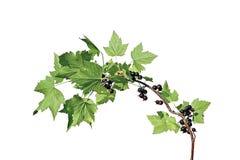 Verzweigen Sie sich mit Blättern und Beeren der schwarzer Johannisbeere Stockfoto