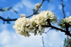 Verzweigen Sie sich mit blühendem Pflaumenbaum gegen den Himmel Stockfotos