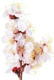 Verzweigen Sie sich mit Blüten. Lokalisiert auf weißem Hintergrund. lizenzfreies stockbild