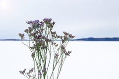 Verzweigen Sie sich mit Blumen auf Schnee, Konzept von Blumen im Winter Lizenzfreie Stockbilder