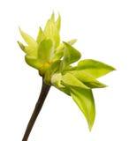 Verzweigen Sie sich mit den Blättern, die auf Weiß lokalisiert werden Stockfotos