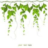 Verzweigen Sie sich mit den Blättern, die auf weißem Hintergrund lokalisiert werden Stockbilder