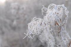 Verzweigen Sie sich mit den Blättern, die durch Reif auf einem schneebedeckten Hintergrund bedeckt werden Stockbild
