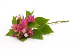 Verzweigen Sie sich mit den Blättern und Blumen, die auf weißem Hintergrund lokalisiert werden Blumenstrauß lokalisiert auf weiße Stockbilder