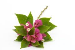 Verzweigen Sie sich mit den Blättern und Blumen, die auf weißem Hintergrund lokalisiert werden Blumenstrauß lokalisiert auf weiße Stockfoto