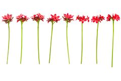 Verzweigen Sie sich mit den Blättern und roten Blumen, die auf weißem Hintergrund lokalisiert werden Blumenstrauß lokalisiert auf Lizenzfreie Stockfotografie