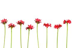 Verzweigen Sie sich mit den Blättern und roten Blumen, die auf weißem Hintergrund lokalisiert werden Blumenstrauß lokalisiert auf Lizenzfreie Stockbilder