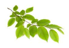 Verzweigen Sie sich mit den grünen Blättern, die auf einem weißen Hintergrund lokalisiert werden Stockfotografie