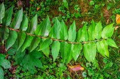 Verzweigen Sie sich mit den grünen Blättern, symmetrisch gelegen auf beiden Seiten stockfoto