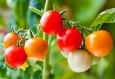 Verzweigen Sie sich mit den roten, orange und grünen Kirschtomaten Lizenzfreie Stockfotos
