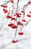 Verzweigen Sie sich mit den roten reifen Beeren der Eberesche bedeckt mit Schnee Stockbild