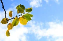 Verzweigen Sie sich mit Grün- und Gelbblättern gegen blauen Himmel mit Weiß Stockfotografie