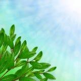 Verzweigen Sie sich mit grünen Blättern Lizenzfreies Stockbild