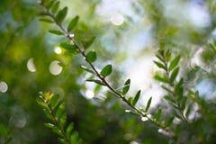 Verzweigen Sie sich mit grünen Blättern Lizenzfreies Stockfoto