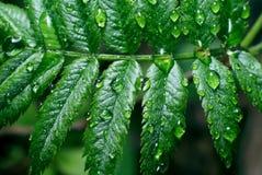 Verzweigen Sie sich mit grünen Blättern Stockfotos