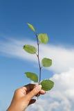Verzweigen Sie sich mit grünen Blättern auf dem Himmelhintergrund Stockfoto