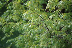 Verzweigen Sie sich mit grünen Blättern von Norwegen-Ahorn, Stockfotos