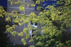 Verzweigen Sie sich mit grünen Blättern von Norwegen-Ahorn, Lizenzfreie Stockfotografie