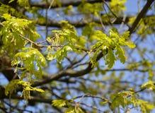 Verzweigen Sie sich mit jungen Blättern und Blütenständen einer Eiche von Englisch, Eiche Robur L lizenzfreie stockbilder