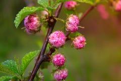 Verzweigen Sie sich mit kleinen rosa Blumen, Blumen im Garten am Frühling Lizenzfreies Stockbild