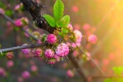 Verzweigen Sie sich mit kleinen rosa Blumen, Blumen im Garten am Frühling Stockfoto