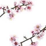 Verzweigen Sie sich mit Mandelblumen Lizenzfreie Stockbilder