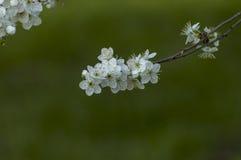 Verzweigen Sie sich mit neuer Blüte der wilden Pflaumebaumblumennahaufnahme im Garten Lizenzfreies Stockbild