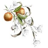 Verzweigen Sie sich mit Orangen Getrennt auf weißem Hintergrund Stockfotos