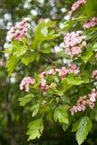 Verzweigen Sie sich mit rosa Blüte Stockbilder