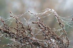 Verzweigen Sie sich mit Spinnenspinnennetz- und -tautropfen Stockfoto