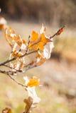 Verzweigen Sie sich mit trockenen gelben Blättern einer Eiche Lizenzfreies Stockfoto