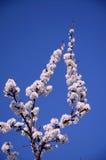Verzweigen Sie sich mit vielen weißen Blütenständen Stockbild