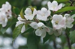 Verzweigen Sie sich mit weißen Blumen des Apfelbaums Blüte über Natur spr Lizenzfreies Stockfoto