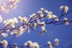 Verzweigen Sie sich mit weißen Blumen gegen den Himmel Lizenzfreies Stockfoto