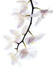 Verzweigen Sie sich mit weißen Orchideenblumen Lizenzfreies Stockbild