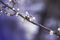 Verzweigen Sie sich mit weißen Kirschblumen auf einem blauen Frühlingshintergrund Stockfotografie