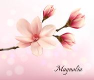 Verzweigen Sie sich mit zwei rosa Magnolienblumen Stockfotografie