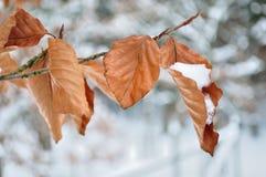 Verzweigen Sie sich in Winter mit Schnee Stockfotografie