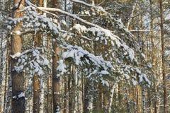 Verzweigt sich die Kiefer, die mit Schnee im Winterwald bedeckt wird Stockfoto