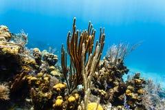 Verzweigungskoralle steigt hoch über andere Korallen und Schwämme auf Korallenriff Stockfotos