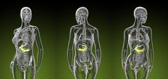 vesícula biliar e pâncreas fêmeas Fotos de Stock Royalty Free