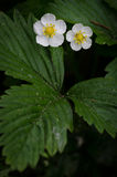 Vesca da Fragaria na flor Fotografia de Stock