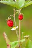 Vesca de Fragaria de fraisiers communs Photographie stock libre de droits