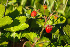 Vesca de Fragaria, fraise de régfion boisée Photo stock