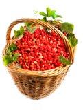 Vesca de Fragaria, fraise de régfion boisée Photo stock