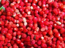 Vesca de Fragaria, fraise de régfion boisée Photo libre de droits